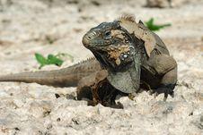 Free Great Iguana Stock Image - 6123731