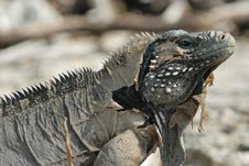 Free Wild Iguana Royalty Free Stock Photography - 6123967