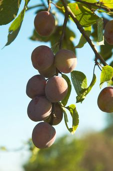 Free Bunch Of Plums. Royalty Free Stock Photo - 6124065