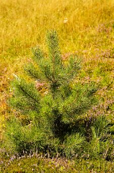 Free Little Pine-tree On The Meadow. Stock Photos - 6124083