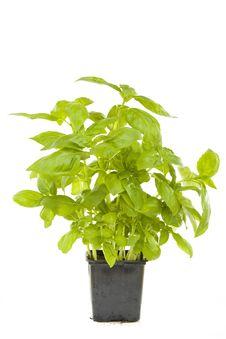 Free Fresh Sage Royalty Free Stock Photo - 6124235