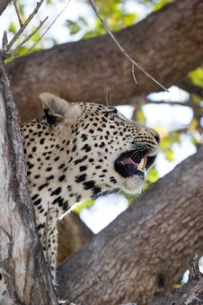 Free Female Leopard Stock Images - 6124784