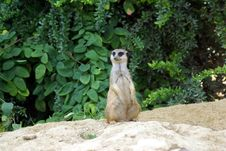 Free Meerkat Sitting Royalty Free Stock Photos - 6125708
