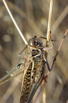 Free Grasshopper Royalty Free Stock Image - 6126726