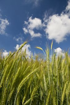 Wheat On A Blue Sky Stock Images