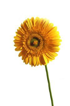 Free Yellow Gerbera Royalty Free Stock Image - 6127086