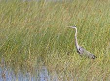 Free Great Blue Heron In Reeds Royalty Free Stock Image - 6127646