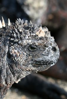 Free Close Up Marine Iguana Royalty Free Stock Images - 6128829