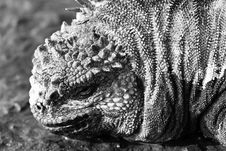 Free Black & White Marine Iguana Royalty Free Stock Image - 6128836