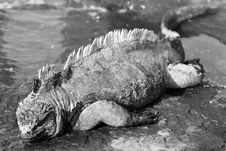 Free Galapagos Marine Iguana Black & White Stock Photo - 6128840