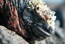 Free Marine Iguana Close Up Stock Photo - 6128870