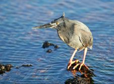 Free Yellow Crowned Night Heron Stock Photos - 6128883