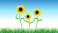 Free Sunflower On Green Field Stock Image - 6128941