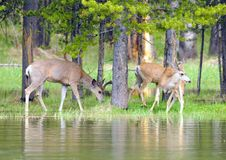 Free Mule Deer Near The Water Royalty Free Stock Photos - 6129338