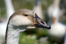 Free Goose Head Royalty Free Stock Photos - 6129528