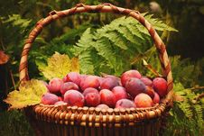 Free Basket Full Of Ripe Plums Yellow Autumn Leaves, The Fern In The Background, Crop Year Stock Images - 61257594
