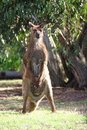 Free Standing Kangaroo Stock Photos - 6134293