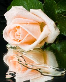 Free Pink Rose With Water Drops Royalty Free Stock Photo - 6130085