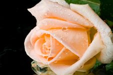 Free Pink Rose With Water Drops Royalty Free Stock Photos - 6130098