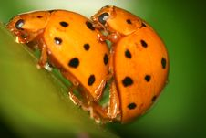 Ladybugs Mating Royalty Free Stock Photo