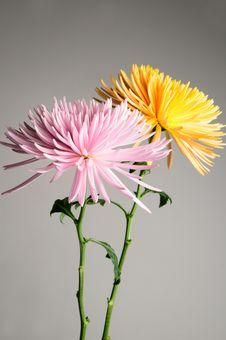 Free Chrysanthemums Royalty Free Stock Photos - 6130908