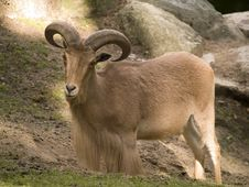 Free Mountain Goat Stock Image - 6132031