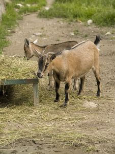 Free Goats Stock Photography - 6132042