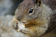 Free Squirrel Eating A Biscuit Stock Images - 6132194