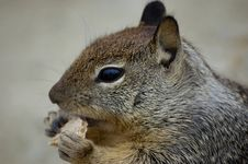 Free Squirrel Eating A Biscuit Royalty Free Stock Photography - 6132197