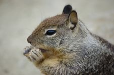 Free Squirrel Eating A Biscuit Royalty Free Stock Photography - 6132207