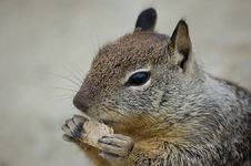 Free Squirrel Eating A Biscuit Stock Photography - 6132222
