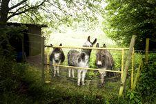 Free Donkeys Royalty Free Stock Photography - 6132797