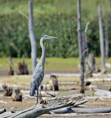 Free Blue Heron Royalty Free Stock Image - 6133416