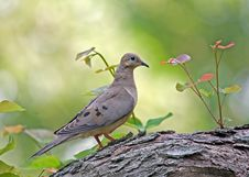 Free Mourning Dove Royalty Free Stock Image - 6133496