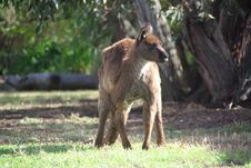 Grumpy Kangaroo Crouching Royalty Free Stock Photography