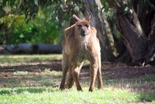 Free Grumpy Kangaroo Glaring Stock Photos - 6134303