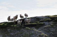 Seven Sheep S Royalty Free Stock Photo
