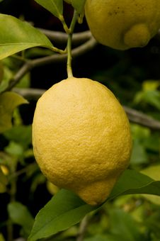 Free Lemon Tree Stock Images - 6134424