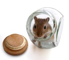 Free Gerbil Mouse 2 Stock Photo - 6136020