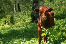 Free Red Cow Royalty Free Stock Photos - 6136658