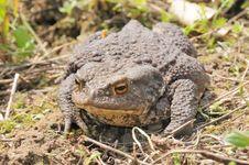 Free Common Toad Stock Photos - 6136803