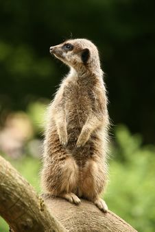 Free Meerkat Standing Guard Royalty Free Stock Photos - 6137028