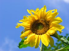 Free Sunflower Stock Photography - 6137032