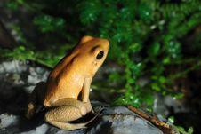 Free Poison Dart Frog Stock Photos - 6137433