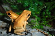 Free Poison Dart Frog Royalty Free Stock Images - 6137549