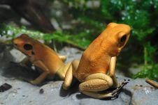 Free Poison Dart Frog Stock Photos - 6137653