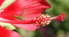 Free Grasshopper On Flower Stock Photo - 6137720