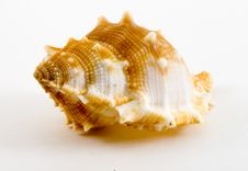Free Conch Stock Images - 6138704