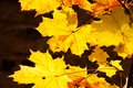 Free Yellow Leaves Of Maple Royalty Free Stock Photo - 61333375
