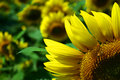 Free Sunflower Royalty Free Stock Photography - 6144087